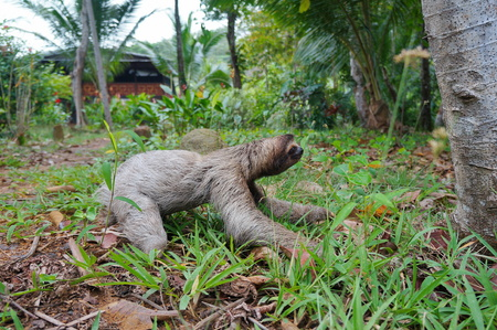 profil: A three-toed sloth crawling on the ground in a garden near an house, Panama, Central America