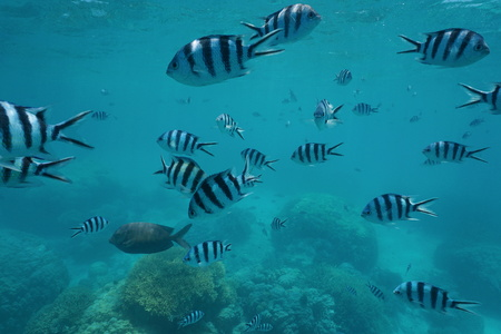 Shoal of fish scissortail sergeant, Abudefduf sexfasciatus, underwater over a coral reef, south Pacific ocean, New Caledonia