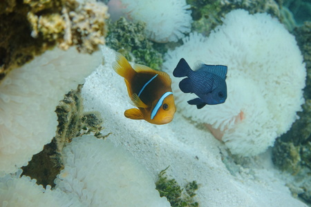 damselfish: A Tropical fish orange-fin anemonefish, Amphiprion chrysopterus, with a damselfish and sea anemone in background, Pacific ocean, Tahiti, French Polynesia