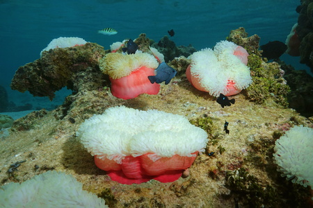 damselfish: Underwater marine life, colorful sea anemones Heteractis magnifica with damselfish, Pacific ocean, Tahiti, French Polynesia Stock Photo