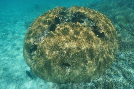stony coral: Massive hemispherical coral underwater lobed brain coral, Lobophyllia hemprichii, south Pacific ocean, New Caledonia, Oceania