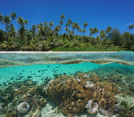 damselfish: Tropical seashore over and under water surface with coconut trees and many sea anemones with fish underwater, lagoon of Huahine island, Pacific ocean, French Polynesia