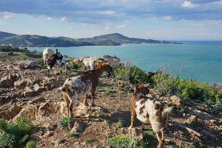 vermilion coast: Herd of goats and coast of the Mediterranean sea seen from the heights with the Cap Bear in background, Pyrenees Orientales, Vermilion coast, Roussillon, south of France