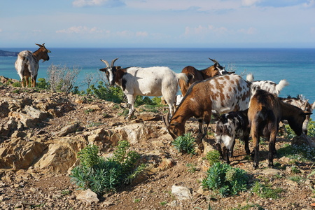 vermilion coast: Herd of goats with the Mediterranean sea in background, Pyrenees Orientales, Vermilion coast, Roussillon, south of France