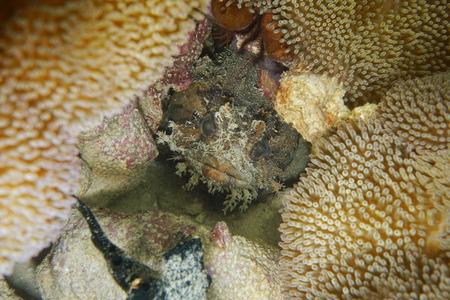 Tropical fish head of a bocon toadfish, Amphichthys cryptocentrus, hidden in a hole of the reef  , Caribbean sea, Central America, Panama