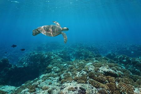 fondali marini: Una tartaruga marina verde subacquea nuota sopra una barriera corallina, barriera corallina esterna dell'oceano Pacifico dell'isola di Huahine, Polinesia francese
