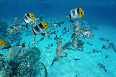 Tropical shoal of fish butterflyfish with snapper underwater in the lagoon of Rangiroa, French Polynesia, Tuamotus, Pacific ocean