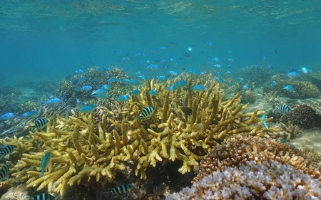 hard coral: Shallow coral reef with a school of fish, mostly blue-green chromis, Chromis viridis, underwater in the lagoon of Grand Terre island, New Caledonia, south Pacific ocean, Oceania