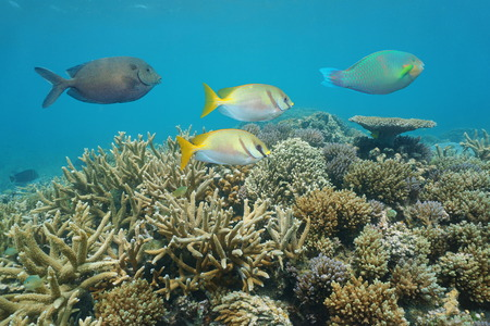 Healthy coral reef with colorful fish rabbitfish, underwater in the lagoon of Grande Terre island, New Caledonia, south Pacific ocean, Oceania Stock Photo