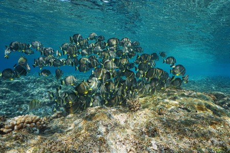A school of fish whitespotted surgeonfish, Acanthurus guttatus, underwater in the Pacific ocean, French Polynesia, Oceania Stock Photo