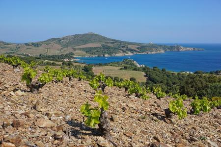 Paisaje costero campo de viñedos y la bahía de Paulilles, Mediterráneo, sur de Francia, Pirineos Orientales, Rosellón, Cote Vermeille Foto de archivo - 82084428