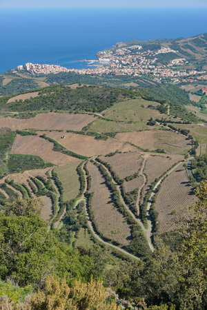vermilion coast: Viewpoint over vinyards fields with the Mediterranean sea and the town of Banyuls-sur-Mer in background, south of France, Roussillon, Pyrenees Orientales