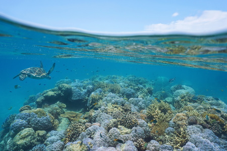 stony coral: Shallow coral reef with a green sea turtle and fishes underwater, New Caledonia, south Pacific ocean