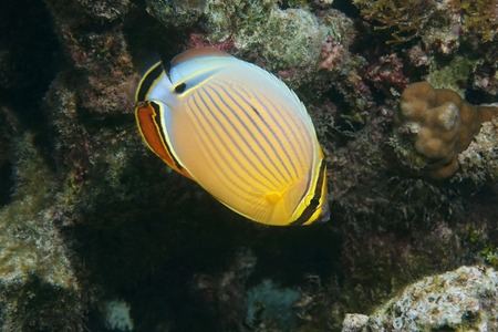 chaetodontidae: A tropical fish oval butterflyfish, Chaetodon lunulatus, underwater in the lagoon of Bora Bora, Pacific ocean, French Polynesia