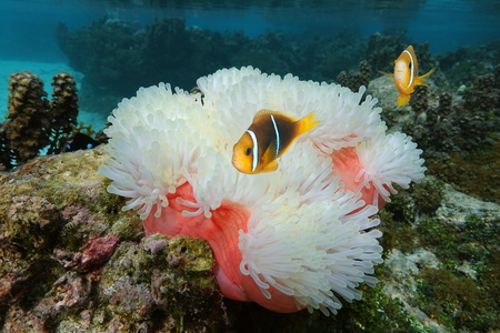 Sea anemone Heteractis magnifica with tropical fish orange-fin anemonefish, Amphiprion chrysopterus, underwater in the Pacific ocean, Moorea, French Polynesia, Oceania Stock Photo