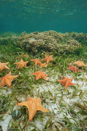 Starfishes cushion sea star, Oreaster reticulatus, under the water on a shallow seabed with seagrass and coral, Caribbean sea