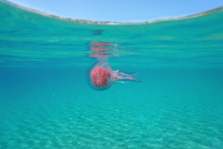 A mauve stinger jellyfish Pelagia noctiluca underwater below the water surface, Mediterranean sea, Spain, Costa Brava, Girona, Catalonia Stock Photo