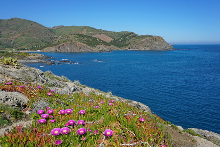 vermilion coast: Pyrenees Orientales rocky coast of the Mediterranean sea with flowers in foreground, south of France, Roussillon, Cote Vermeille, Cap Peyrefite Stock Photo