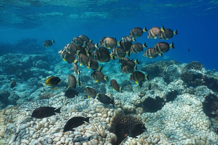 Underwater a school of fish, whitespotted surgeonfish, over a coral reef, Rangiroa, Tuamotus, Pacific ocean, French Polynesia, Oceania