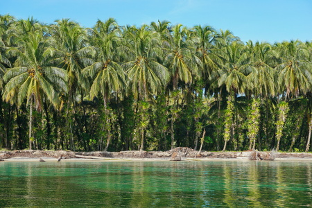 Tropical coastline coconut palm trees with epiphytes on their trunks, Caribbean sea, Central America, Panama, Bocas del Toro