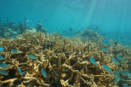 Underwater coral reef with tropical fish in the lagoon of Tahiti, Punaauia, south Pacific ocean, French Polynesia, Oceania Stock Photo