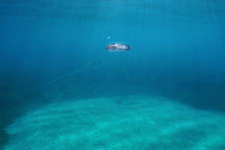 Jellyfish Aequorea Sp. underwater in the Mediterranean sea, natural light, Spain, Costa Brava