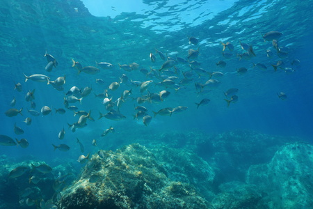 Underwater Mediterranean sea, shoal of fish sea breams salema porgy, Sarpa salpa, Costa Brava, Catalonia, Spain