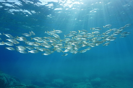 School of fish with sunlight through surface underwater in the Mediterranean sea, sea breams Sarpa salpa, Sicily, Trapani, Italy