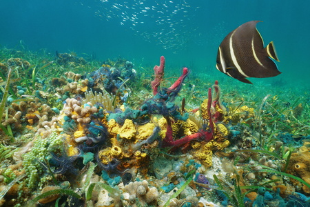Colorful underwater marine life on the seabed in the Caribbean sea composed by corals, sponges, brittle stars, anemones with an angelfish 版權商用圖片
