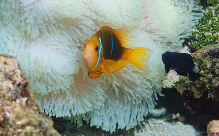 Tropical fish orange-fin anemonefish with a damselfish and sea anemone tentacles underwater in the Pacific ocean, American Samoa Stock Photo