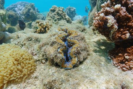 Bivalve mollusk maxima clam, Tridacna maxima, underwater in the Pacific ocean, French polynesia