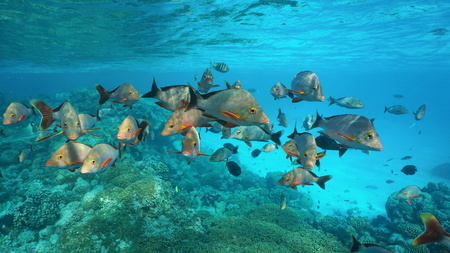 Shoal of fish humpback red snapper, Lutjanus gibbus, underwater on a reef in the Pacific ocean, Rangiroa, Tuamotus, French Polynesia Stock Photo