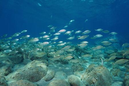 School of fish underwater in the Mediterranean sea, salema porgy, Sarpa salpa, Corsica, France Stock Photo