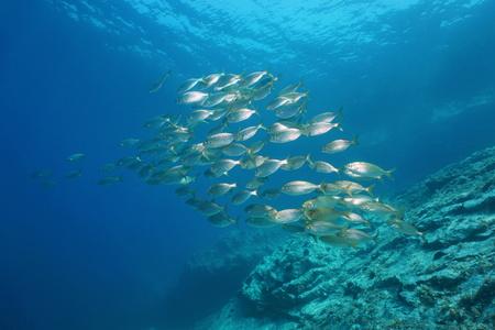 Cardumen de peces bajo el agua en el mar Mediterráneo, besugo besugo, Sarpa salpa, costa bermellón, Pirineos Orientales, Francia