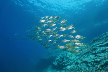 School of fish underwater in the Mediterranean sea, sea bream dreamfish, Sarpa salpa, Vermilion coast, Pyrenees-Orientales, France Imagens