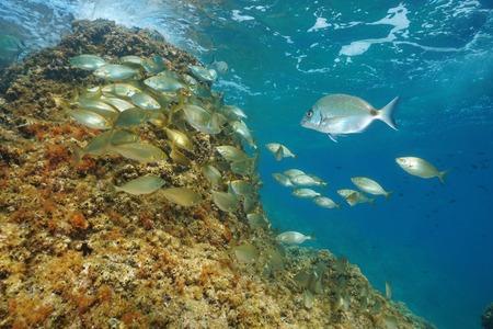 A shoal of fish underwater in the Mediterranean sea ( dreamfish Sarpa salpa and a white sea bream ), France
