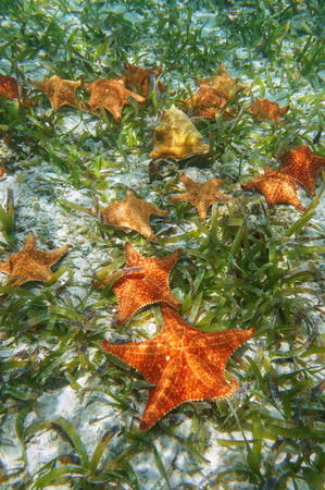Sea stars underwater with turtlegrass and a queen conch shell on the seabed in the Caribbean sea Stock Photo