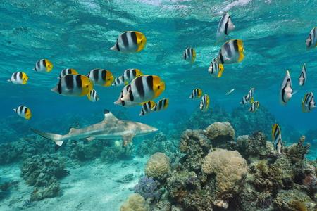 Une école de poissons tropicaux du Pacifique à double selle poisson-papillon avec un requin de récif à pointes noires et des coraux sous l'eau, océan Pacifique sud, Polynésie française Banque d'images