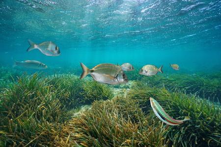 Mediterranean fishes underwater with neptune sea grass below water surface, Cabo de Palos, Cartagena, Murcia, Spain Stock Photo