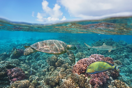 a green turtle on a coral reef with fish underwater and blue sky with cloud, split view above and below water surface, Bora Bora, French Polynesia, south Pacific ocean Imagens