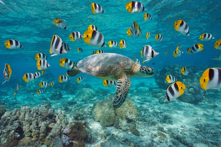 A green sea turtle with a school of tropical fish underwater (butterflyfish), lagoon of Bora Bora, Pacific ocean, French Polynesia Stock Photo