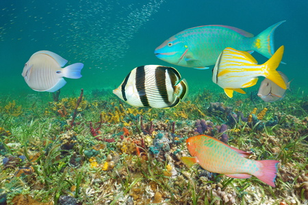 Underwater colorful tropical fish and seabed, Caribbean sea