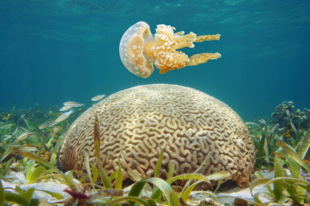 Underwater spotted jellyfish and brain coral in the Caribbean sea Banque d'images - 117727828
