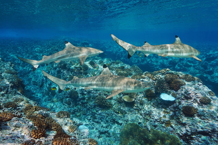 Blacktip reef sharks underwater and corals, Pacific ocean, French Polynesia Banque d'images - 117727837