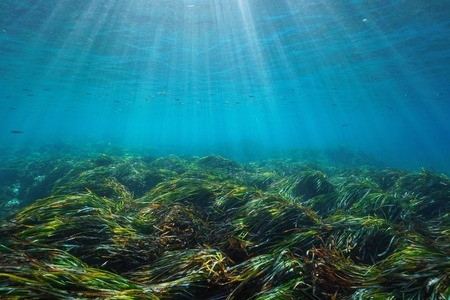 Seabed with neptune grass Posidonia oceanica underwater Mediterranean sea, natural sunlight, Javea, Alicante, Valencia, Spain Banque d'images - 117728034
