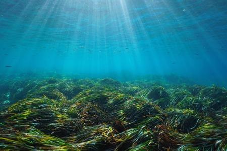 Seabed with neptune grass Posidonia oceanica underwater Mediterranean sea, natural sunlight, Javea, Alicante, Valencia, Spain