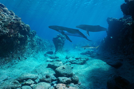 Underwater seascape, rocky seabed with whales and a shark, Pacific ocean, French Polynesia Banque d'images - 117728058