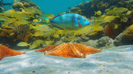Starfish underwater with colorful tropical fish in the Caribbean sea Banque d'images - 117728059
