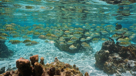 School of tropical fish (convict surgeonfish) below water surface in a lagoon, Pacific ocean, French Polynesia Banque d'images - 117728066