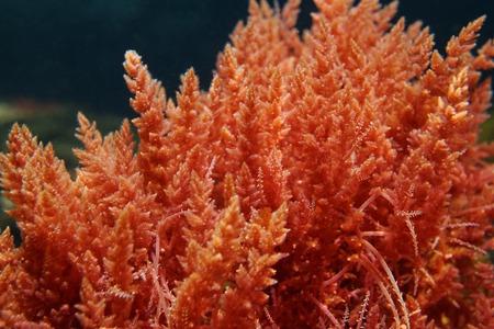 Arpón de algas rojas de malezas Asparagopsis armata bajo el agua en el mar Mediterráneo, España Foto de archivo